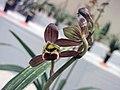 報歲富貴金龍 Cymbidium sinense 'Wealthy Golden Dragon' -香港沙田國蘭展 Shatin Orchid Show, Hong Kong- (12221545166).jpg