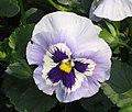 大花三色堇 Viola wittrockiana Joker -香港花展 Hong Kong Flower Show- (9200912566).jpg