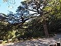 大铁杉 - Large Hemlock Tree - 2012.02 - panoramio.jpg
