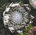 帝王海神花 Protea cynaroides -香港花展 Hong Kong Flower Show- (20280458792).jpg