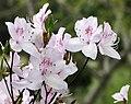 滿山紅 Rhododendron mariesii -上海植物園 Shanghai Botanical Garden- (17159832667).jpg