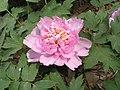 牡丹-翠幕 Paeonia suffruticosa 'Green Veil' -洛陽西苑公園 Luoyang, China- (12517024463).jpg