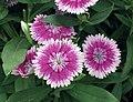 石竹 Dianthus Floral Lace Picotee -香港北區花鳥蟲魚展 North District Flower Show, Hong Kong- (9450695130).jpg
