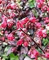 礬根 Heuchera micrantha -上海國際花展 Shanghai International Flower Show- (17352394572).jpg
