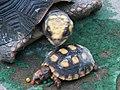 紅腿象龜 Chelonoidis carbonaria - panoramio.jpg