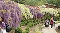 紫藤、白藤 - panoramio.jpg