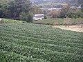 茶畑(真篠) - panoramio.jpg