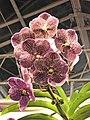 萬代蘭 Vanda Gordon Dillon -台南國際蘭展 Taiwan International Orchid Show- (40799685502).jpg