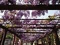 藤の花 by takeokahp - panoramio.jpg