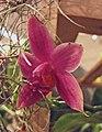 蝴蝶蘭屬 Phalaenopsis bastianii 'Red' -香港沙田洋蘭展 Shatin Orchid Show, Hong Kong- (31111301470).jpg