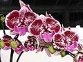 蝴蝶蘭 Phalaenopsis I-Hsin Dream Bubble -台南國際蘭展 Taiwan International Orchid Show- (39129455550).jpg
