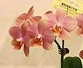 蝴蝶蘭 Phalaenopsis Tainan Pride -台南國際蘭展 Taiwan International Orchid Show- (39129452780).jpg