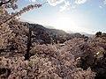 西日に光る湯田中の街と遅咲きの桜 - panoramio.jpg