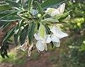 金雀兒屬 Cytisus proliferus -澳洲塔斯曼尼亞 Richmond, Tasmania- (10855686995).jpg