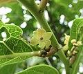 香港算盤子 Glochidion zeylanicum (Glochidion hongkongense) -香港濕地公園 Hong Kong Wetland Park- (9213354553).jpg