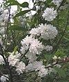 麥李 Prunus glandulosa -瀋陽植物園 Shenyang Botanical Garden, China- (9240275038).jpg