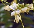 龍爪槐 Sophora japonica v pendula -香港青衣公園 Tsing Yi Park, Hong Kong- (9240276616).jpg