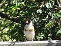 -2019-07-23 Goldfinch (Carduelis carduelis), Trimingham (7).JPG