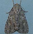 - 9244 – Acronicta modica – Medium Dagger Moth (16223139811).jpg