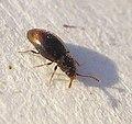 01 04 09a (59) Coleoptera (3420303012).jpg