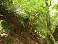 089. Río de la Miel - Helecho de colchonero (Culcita macrocarpa) (12858470513).jpg