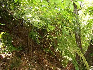 Culcita (plant) - Culcita macrocarpa