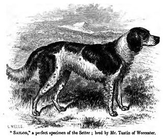 Irish Red and White Setter - An early setter from around the 1850s.