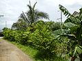 09671jfVillage Creek Atis Banana Plants San Miguel Bulacanfvf 10.JPG