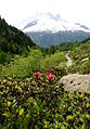 0 Rhododendron ferrugineum - Vallorcine (3).JPG
