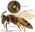 10-Parapygmephorus on Andrena-mandibularis BMOC 15-0606-068.jpg