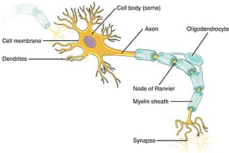 Depolarization - Structure of a neuron