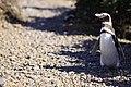 134 - Cap Virgenes - Manchot de Magellan - Janvier 2010.JPG