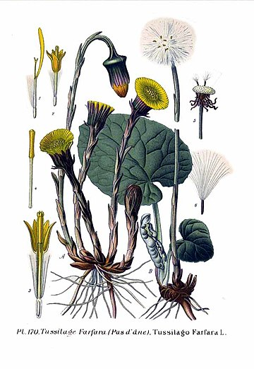 Plant Coltsfoot