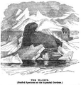 1862 walrus Aquarial and ZoologicalGardens Boston Ballous.png