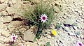20)flore d'El kantara(Algerie).jpg