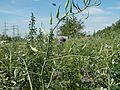 20110703Wildes Rapsfeld Ketsch3.jpg