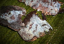 Picture showing white crusts on pieces of dead wood