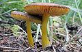 2012-06-23 Pluteus romellii (Britzelm.) Lapl 230261.jpg