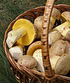 2012-07-12 Boletus impolitus in basket.jpg