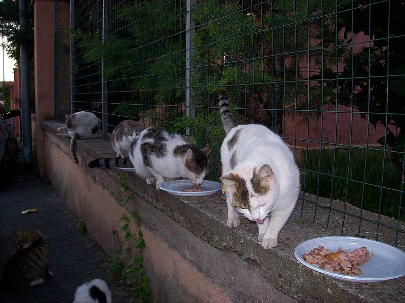 File:2013-04-13 Street cats eating in Rome.jpg - Wikimedia ...