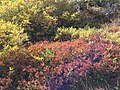2013-09-16 14 47 12 Autumn foliage in the bogs above Island Lake, Nevada.jpg