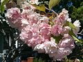 2014-06-09 09.57.20—Prunus Sato-zakura Group 'Kanzan'—Shoko (14282190307).jpg