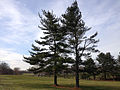 2014-12-30 11 36 31 Eastern White Pines along Lower Ferry Road (Mercer County Route 643) in Ewing, New Jersey.JPG