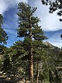 2015-04-30 16 04 47 Ponderosa Pine along the Trail Canyon Trail in the Mount Charleston Wilderness, Nevada about 1.7 miles north of the trailhead.jpg