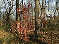 2015-11-15 09 30 41 An Arrowwood during autumn in the woodlands along the West Branch Shabakunk Creek in Ewing, New Jersey.jpg