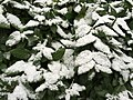 2016-01-17 15 13 54 A light wet snowfall on the green leaves of a Japanese Honeysuckle along Terrace Boulevard in Ewing, New Jersey.jpg