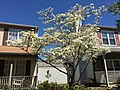 2016-04-20 12 09 41 White Flowering Dogwood blooming along Tranquility Court in the Franklin Farm section of Oak Hill, Fairfax County, Virginia.jpg
