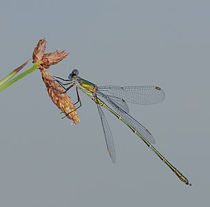 Western willow spreadwing - Lestes viridis, male.