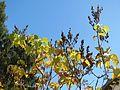 20161107Syringa vulgaris.jpg