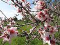 2017-02-26 Almond Blossom (Prunus dulcis), Albufeira.JPG